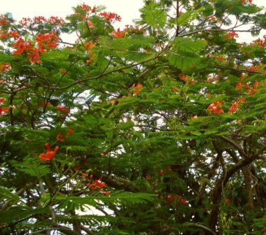 Closeup of flowering tree with exotic red spindly flowers and wide feathery leaves