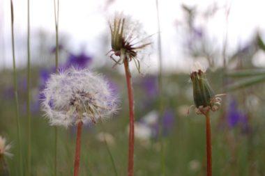 Closeup of dandelion blooms