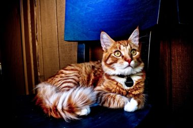 An orange cat with a collar tag named Mango